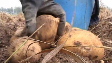 Photo of В Лидском районе идет уборка картофеля и сахарной свёклы