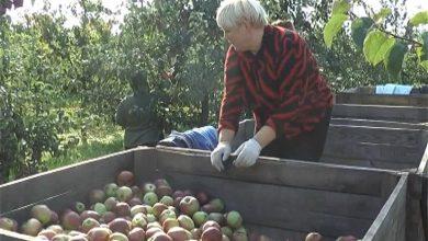 Photo of В тарновских садах сельхозпредприятия «Можейково» идет сбор урожая