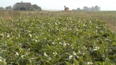 Photo of В Лидском районе завершена уборка картофеля и близится к завершению уборка сахарной свеклы