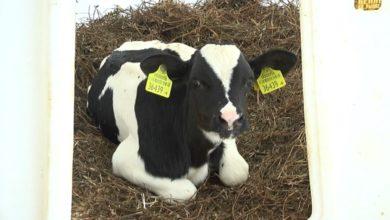 Photo of В планах коллектива молочно-товарного комплекса «Песковцы» довести удои до 5000 кг от коровы за год