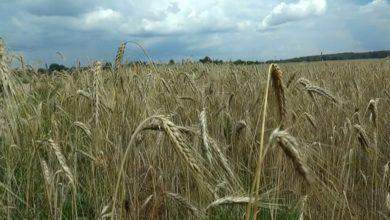 Photo of На сегодня в Лидском районе скошено более 60% площадей, отведенных под зерновые и зернобобовые