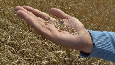 Photo of В хозяйствах Лидского района идет массовая уборка зерновых