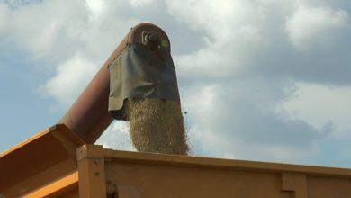 Photo of ОАО «Лидахлебопродукт» должно принять в этом году более 68,5 тысяч тонн зерна