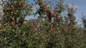 В хозяйстве «Можейково» убирают яблоки