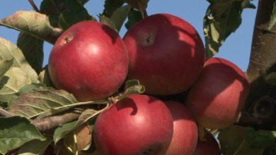 Photo of В хозяйстве «Можейково» убирают яблоки