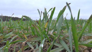 Photo of Мягкая зима заставляет аграриев пересматривать подходы к выращиванию озимых зерновых
