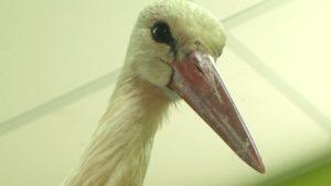 Лидский ветеринар помогает вернуть здоровье аисту