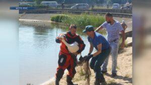 Специалисты отреагировали на обращения горожан по поводу двух лебедей, нуждающихся в помощи