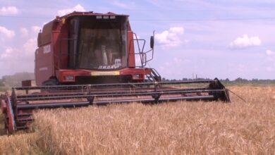 Почти 40 центнеров зерновых с гектара в Лидском районе